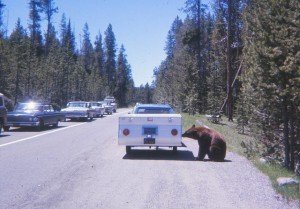 Bear_approaching_vehicle_in_Yellowstone_National_Park_1967
